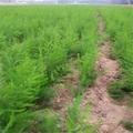 綠蘆筍專業種植合作社 供應蘆筍種苗 1