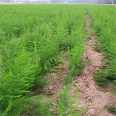 绿芦笋专业种植合作社 供应芦笋种苗