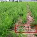 綠蘆筍專業種植合作社 供應蘆筍種苗 2