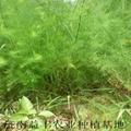 綠蘆筍專業種植合作社 供應蘆筍種苗 3