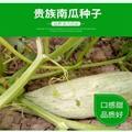 貴族南瓜種子 蜜瓜也叫丑瓜種子 5