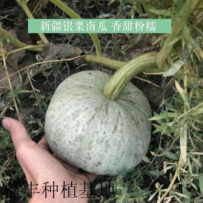 南瓜品種 銀栗南瓜種子 1