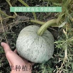 南瓜品種 銀栗南瓜種子