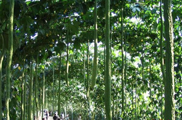 2米特長絲瓜種子 白色絲瓜種子批發 1