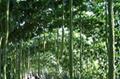 2米特长丝瓜种子 白色丝瓜种子