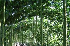 2米特长丝瓜种子 白色丝瓜种子批发
