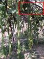 2米特長絲瓜種子 白色絲瓜種子批發 2
