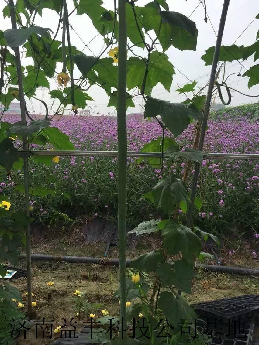 2米特長絲瓜種子 白色絲瓜種子批發 5