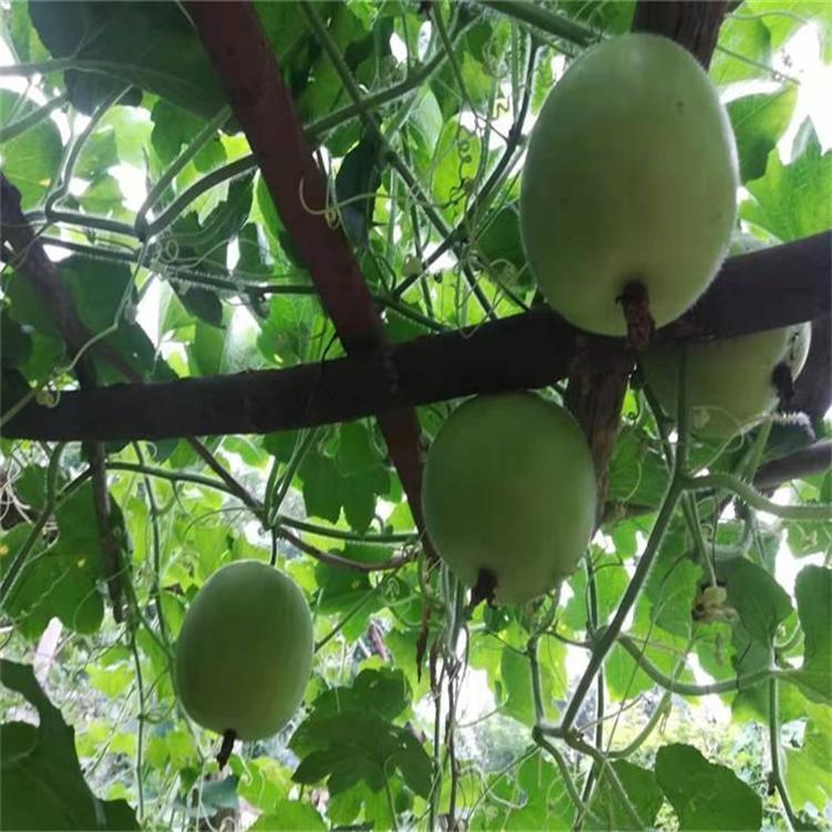 冬瓜種子 香芋冬瓜種子 1