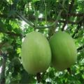 冬瓜種子 香芋冬瓜種子 2
