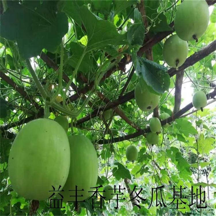 冬瓜種子 香芋冬瓜種子 3