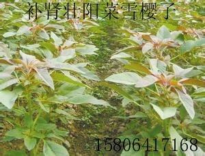 觀賞保健蔬菜種子 雪櫻子種子  2