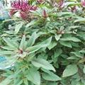觀賞保健蔬菜種子 雪櫻子種子  3