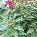 觀賞保健蔬菜種子 雪櫻子種子  4