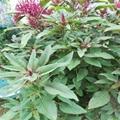 觀賞保健蔬菜種子 雪櫻子種子  5