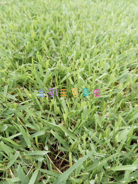 馬尼拉草坪 2