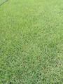 馬尼拉草坪 3