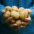 Potato set 6s strict selection fresh potatoes 2