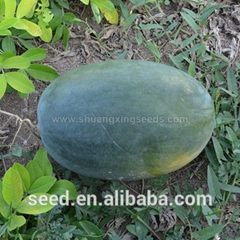 Tropical seedless triploid watermelon seed