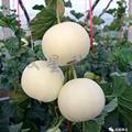 Sweet Star No.21 resist diseases hybrid