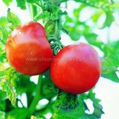 Hybrid big pink red fruit tomato seed