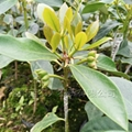 羅馬品種八角幼苗