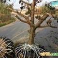 供3--8公分桃樹 蘋果樹 山楂樹 1