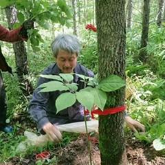 linxiashen Changbai Mountain ginseng