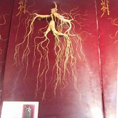 Wild ginseng for thousands of years