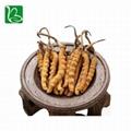 Organic dried cordyceps sinensis