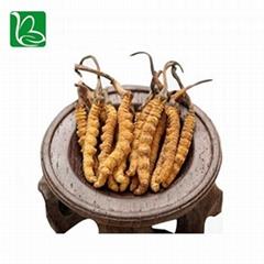 Organic dried cordyceps sinensis caterpillar fungus Keeda Jadi cordyceps root