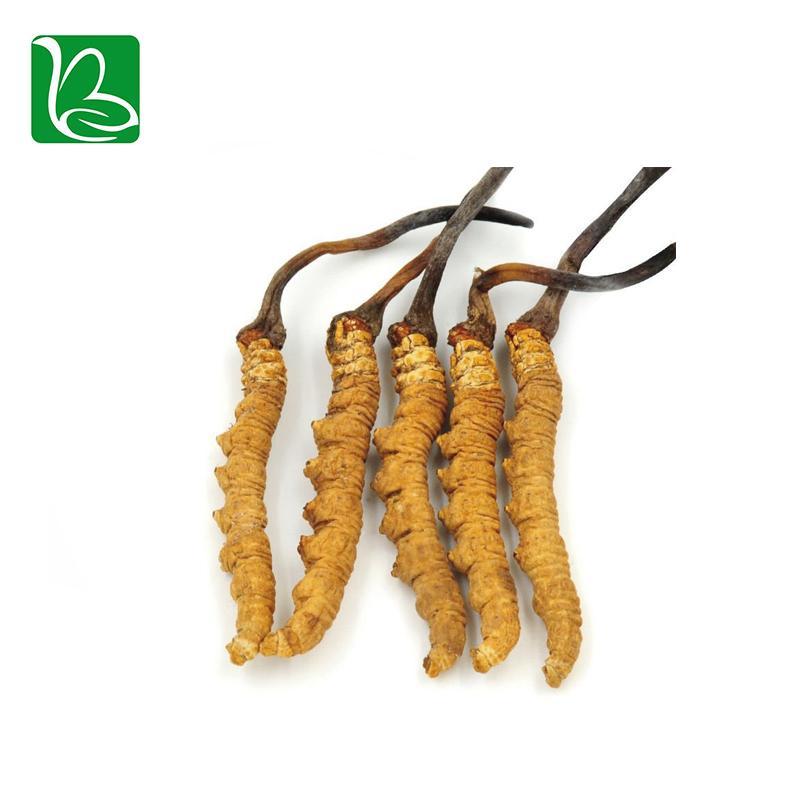 Organic dried cordyceps sinensis caterpillar fungus Keeda Jadi cordyceps root 2