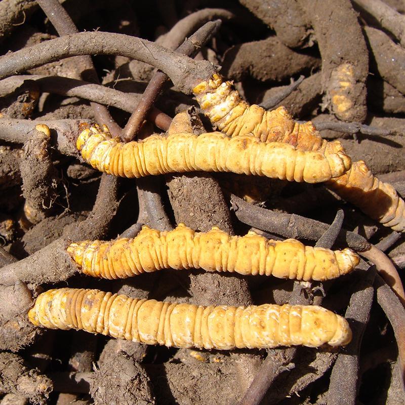 Organic dried cordyceps sinensis caterpillar fungus Keeda Jadi cordyceps root 3