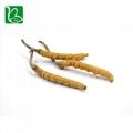 Organic dried cordyceps sinensis caterpillar fungus Keeda Jadi cordyceps root 4