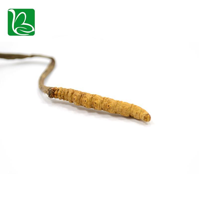 Organic dried cordyceps sinensis caterpillar fungus Keeda Jadi cordyceps root 5