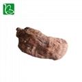 Da huang dried herbal medicine Rheum officinale palmatum L. 5
