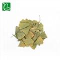 Dried ginkgo leaf for hemiplegia Chinese herbal ginkgo dried leaves  4