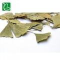 Dried ginkgo leaf for hemiplegia Chinese herbal ginkgo dried leaves  5