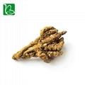 Coptis chinensis rizoma traditional Chinese medicine herbs Rhizoma Coptidis heal 4