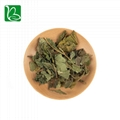 Natural tea herbs white mulberry leaves phenolic tea for health 3