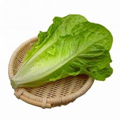散叶罗马生菜新鲜果蔬绿色蔬菜沙拉火锅西餐食材批发销售