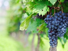 Grape Seed Extract OPC 95%