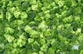 IQF broccoli  (florets/cuts),BQF broccoli (cuts/spears),Frozen broccoli 1
