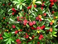 IQF Bayberry,Frozen Bayberries,IQF Waxberry,IQF Arbutus