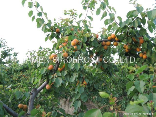 冷凍杏,速凍杏 14