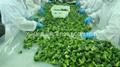 IQF broccoli  (florets/cuts),BQF broccoli (cuts/spears),Frozen broccoli 4