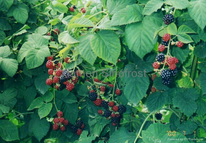 IQF Blackberries,Frozen Blackberries,cultivated 12