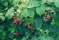 冷凍黑莓,速凍黑莓 11