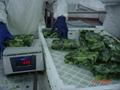 盤凍小松菜段,單凍小松菜段 3