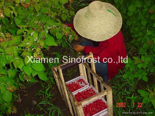 IQF Raspberries,Frozen Raspberries,wholes/brokens/crumbles/puree 7